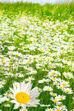Charming camomiles Royalty Free Stock Photography