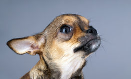 Charming chihuahua puppy head looking up Stock Photography