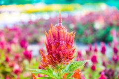 Dwarf Celosia, Celosia plumosa. A charming, compact version of larger varieties but with the same brilliant color range that makes Celosia stand out among other royalty free stock images
