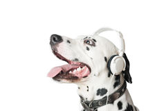 Charming dalmatian dog in headphones and collar. Stock Images