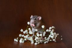 Charming dambo rat with gypsophila flowers on a brown background. Festive picture