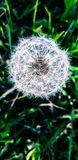 A charming dandelion from the grass background!. Charming dandelion grass background white royalty free stock photo