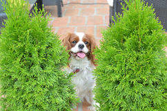 Charming dog hiding Royalty Free Stock Photography