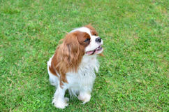 Charming dog on a lawn Royalty Free Stock Photography