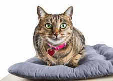 Charming domestic Bengali cat lays on a soft pillow and looks in. To the camera. Mixed media Royalty Free Stock Image