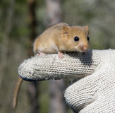 Charming Dormouse Royalty Free Stock Images