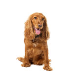 Charming english cocker spaniel Royalty Free Stock Photo