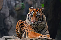 Charming. A female tiger sitting in a rock royalty free stock image