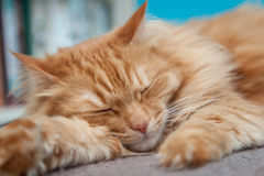 Charming fluffy ginger cat Royalty Free Stock Photos