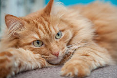 Charming fluffy ginger cat Royalty Free Stock Images