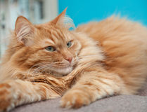 Charming fluffy ginger cat Stock Image