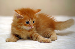 Charming ginger kitten Royalty Free Stock Images