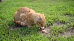 Charming ginger Scottish fold kitten greedily eats a piece of a stolen fish