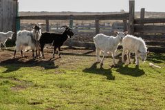 Charming goats, illuminated by the sun, on the farm royalty free stock image