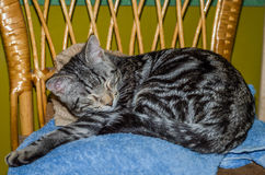 Charming gray fluffy cat with eyes closed, sleeping on a chair Royalty Free Stock Photo