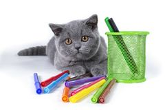 The charming, gray, fluffy purebred British kitten, a glass with felt-tip pens, on a white background. welcome to school stock photography