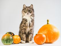 Charming, gray kitten and ripe, multi-colored pumpkins royalty free stock image