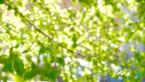Charming green natural background with sunbeams through leaves in park on summer day. Focus on birch branch on