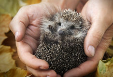 Charming hedgehog in male hands on   background of autumn leaves Royalty Free Stock Photography