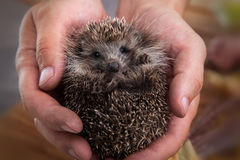 Charming hedgehog in male hands on a background of autumn leaves Royalty Free Stock Images