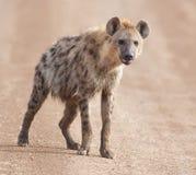 Charming hyena Royalty Free Stock Image