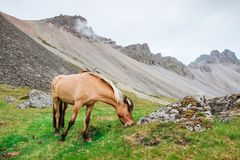 Charming Icelandic horses in a pasture with mountains in the background. Stock Images
