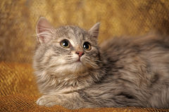 Charming kitten Royalty Free Stock Images