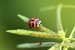 Charming ladybugs Royalty Free Stock Photos