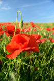 The charming landscape with poppies in sunny day against the sky Stock Photos