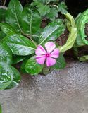 Charming little flower in our home..... royalty free stock photo