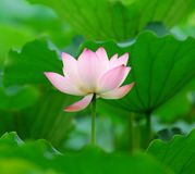 Charming lotus Royalty Free Stock Photos