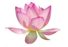 Charming lotus Stock Photos