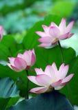 Charming lotus Stock Images