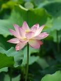 Charming lotus Stock Photo