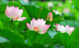 Charming lotus Royalty Free Stock Image