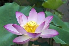 Charming lotus Stock Image