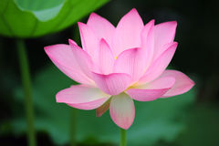 Charming lotus Royalty Free Stock Images