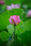 Charming lotus Royalty Free Stock Photo