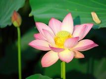 Charming lotus Royalty Free Stock Photography
