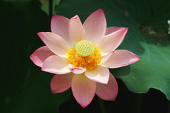 Charming lotus. A charming lotus bloom in the pond Royalty Free Stock Photo