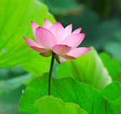 Charming lotus Stock Photography