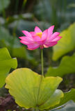 Charming lotus Stock Image
