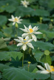 Charming lotus bloom in pond Stock Images