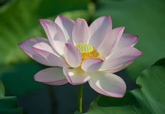 Charming lotus bloom in pond Stock Photos