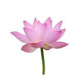Charming lotus bloom Royalty Free Stock Image