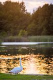 Charming mute swan on a shore near lake water Royalty Free Stock Photo