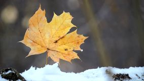Charming nature scene with maple leaves closeup in heavy snow fall. Wind stock video footage