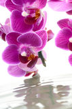 Charming orchid. Royalty Free Stock Images
