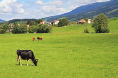 Green meadow  and grazing cows Royalty Free Stock Images