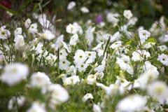 Charming petunias stock photo